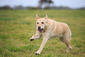 Profile View of Yellow Labrador Running in field with purple ball in mouth