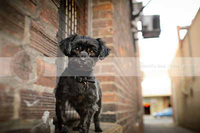 small black groomed dog standing in brick urban alley