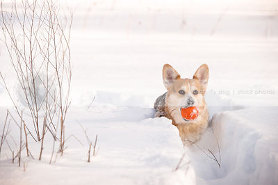 corgi dog carrying ball in deep winter snow
