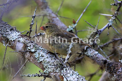 Small Ground Finch female (Geospiza fuliginosa), San Cristobal, Galapagos