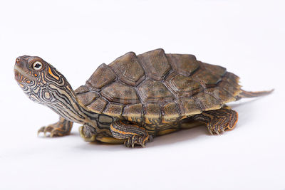 Texas map turtle (Graptemys versa) photos