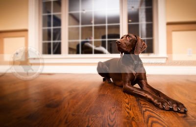brown shorthaired dog lying on hardwood floor at home indoors