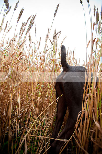 brown dog butt and tail walking standing in deep wheat field