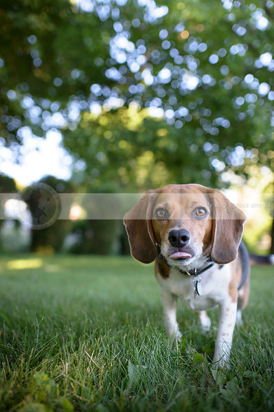 tricolor beagle dog with tongue walking to camera in park