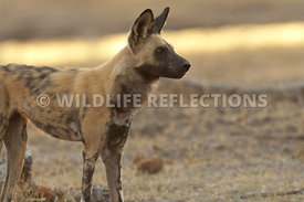 Wild Dog Watching