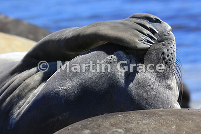 Southern Elephant Seal (Mirounga leonina) appearing to shade its eyes from the sun with a flipper, Carcass Island, Falkland Islands