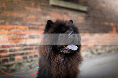 portrait of shaggy black chow dog at urban brick wall