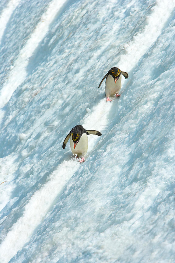 Macaroni penguin (Eudyptes chrysolophus) pair skiing across glacier, South Georgia