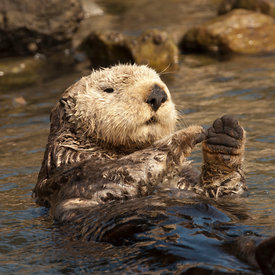 California Sea Otter wildlife photos