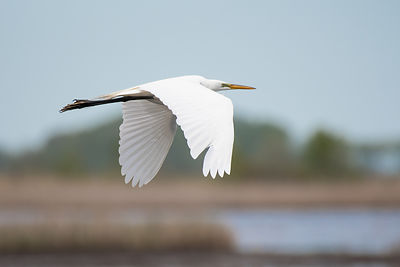 Great-Egret-0434-Full