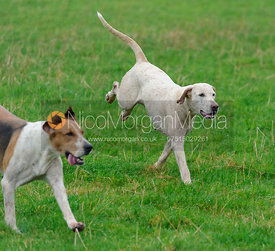 Fitzwilliam hounds