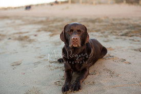 Brown chocolate labrador retriever on beach with eyes closed