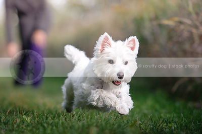 airborn young white westie dog running in mowed grass