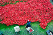 Poppies in the Moat art installation being removed. Tower of London, UK