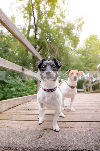 two excited terrier dogs standing on a bridge