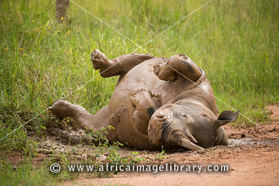 White rhinoceros taking a mud bath (Ceratotherium simum), Ziwa Rhino Sanctuary, Uganda