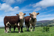 Yearling Hereford bulls on pasture land in the Lune Valley, Cumbria, UK.
