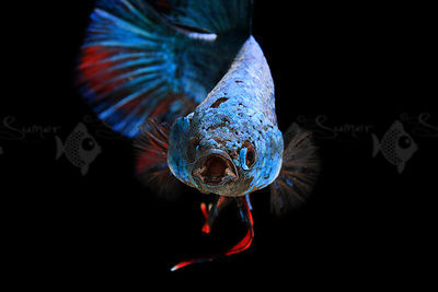 blue deagon HMPK betta flaring