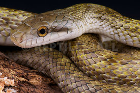 Elaphe climacophora, Japanese Rat Snake, Japan
