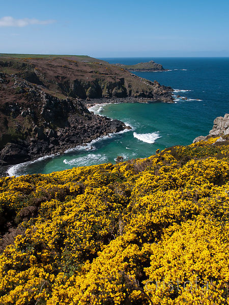 from Zennor Head with yellow gorse