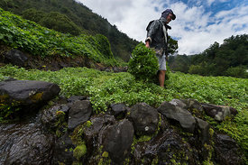 Watercress grower (Jean-Noël), near Bridal Veil Falls, Salazie, La Reunion.
