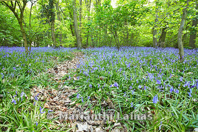 Bluebells at Eastham