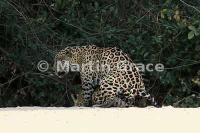 Female Jaguar (Panthera onca) 'Hunter' (barely visible) is mated by 'Hero', Three Brothers River, Northern Pantanal, Mato Grosso, Brazil. Image 18 of 62; elapsed time 30mins