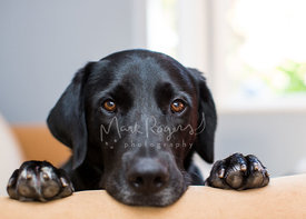 Black labrador dog gazing into camera