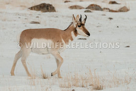 pronghorn_snow_walking0320130119_