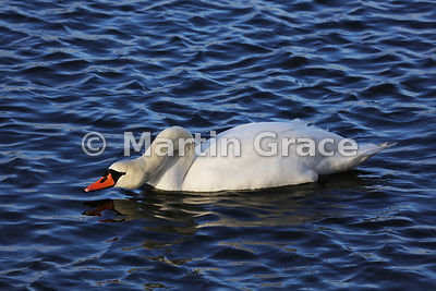 Mute Swan male (cob) (Cygnus olor) displaying with the neck flexed and the head held low over the water, Dumfries & Galloway, Scotland