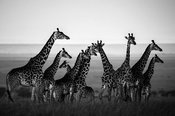 1098-Giraffes_in_harmony_with_their_natural_setting_Kenya_2013_Laurent_Baheux