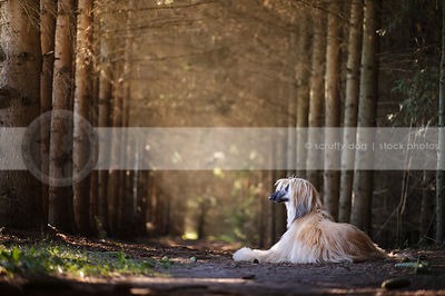 longhaired dog from behind lounging in forest of pine trees