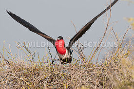 frigatebird_flight_sequence_6