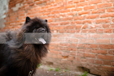portrait of hairy black chow dog at brick wall in urban setting