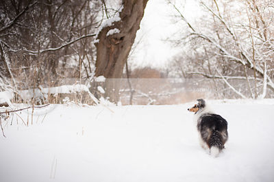 merle sheltie dog from behind waiting in snow with trees