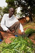 Farmer chopping Elephant grass, with machette, to feed to his cattle. Rwanda