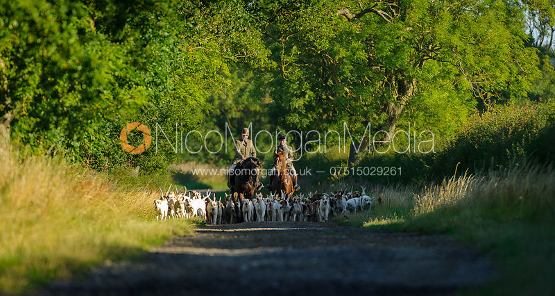 The Cottesmore Hunt on hound exercise 31/7 photos