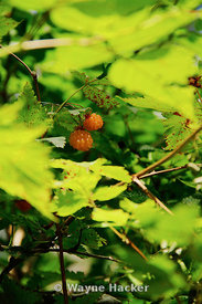 Rubus spectabilis (salmonberry) is a species of brambles