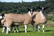 Mule gimmer lambs grazing in pasture. North Yorkshire.