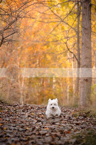 little white groomed terrier dog running in autumn setting