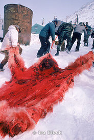 A freshly skinned polar bear being carried back to the village by local hunters