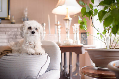 cute small bichon frise cross dog perching on chair indoors