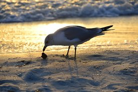 Sea gull eating