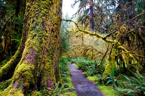 MOSS COVERED TREES SPRUCE NATURE TRAIL HOH RAINFOREST OLYMPIC NATIONAL PARK