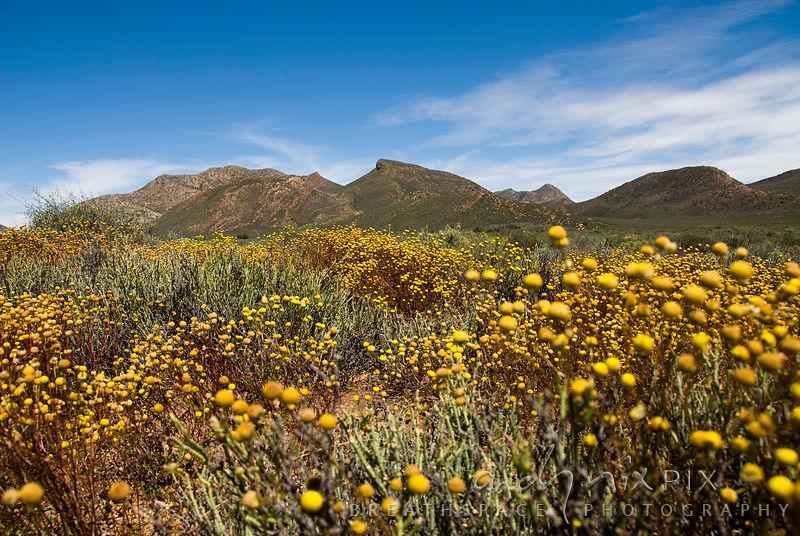 Yellow Klein Karoo flowers and bushes