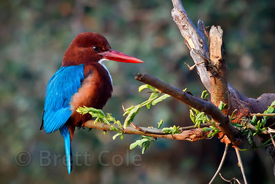 White-throated Kingfisher (Halcyon smyrnensis), Keoladeo National Park, Bharatpur, India