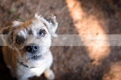 small blond terrier dog staring up with minimal background