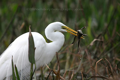 Herons and Cranes photos