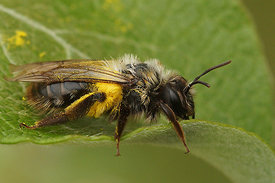 Andrena vaga, female resting on a Salix caprea shrub after collecting pollen on Taraxacum officinale