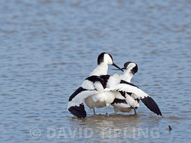 Pied Avocet Recurvirostra avosetta courtship ritual immediately after copulation North Norfolk May